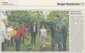 Heimatverein Gommern pflanzt Platane